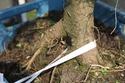 Rempotage et projet Picea abies 14-04-12