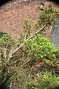 Rempotage et projet Picea abies 14-04-13