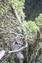 Rempotage et projet Picea abies 14-04-14