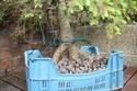 Rempotage et projet Picea abies 15-04-11