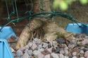 Rempotage et projet Picea abies 15-04-12