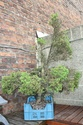 Rempotage et projet Picea abies 15-04-14