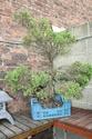 Rempotage et projet Picea abies 15-04-15