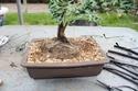 Juniperus Chinensis rempotage 16-04-10