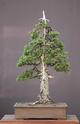 Rempotage et projet Picea abies Picea_10