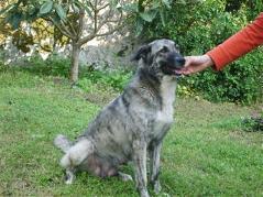 Urgence pour 6 chiens (association Corse du Sud) _wsb_214