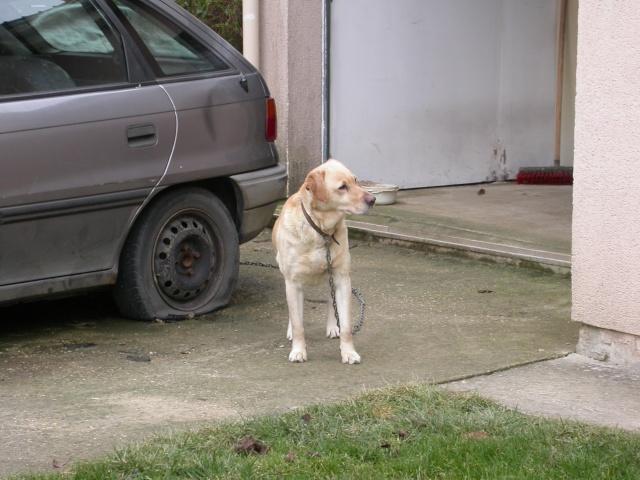 Femelle x Labrador 6ans dans le 77 Dscn1010
