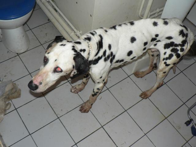 [TOUJOURS D'ACTUALITE]Urgence pour un dalmatien de 12 ans P1050412