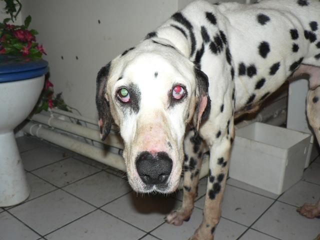 [TOUJOURS D'ACTUALITE]Urgence pour un dalmatien de 12 ans P1050414