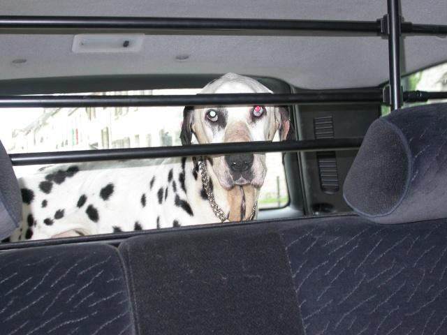[TOUJOURS D'ACTUALITE]Urgence pour un dalmatien de 12 ans Plus_v10