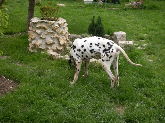 [TOUJOURS D'ACTUALITE]Urgence pour un dalmatien de 12 ans Yahou_10