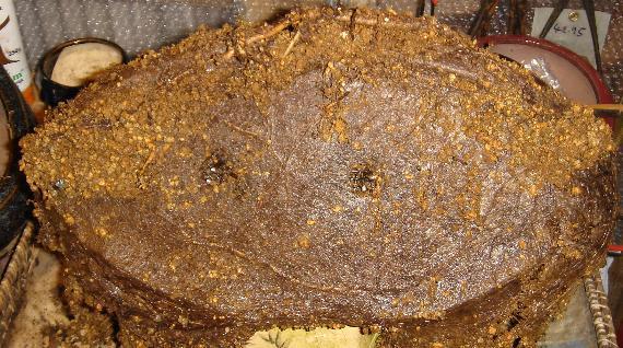 """l'argousier """"hippophae rhamnoides"""" Dsc00110"""
