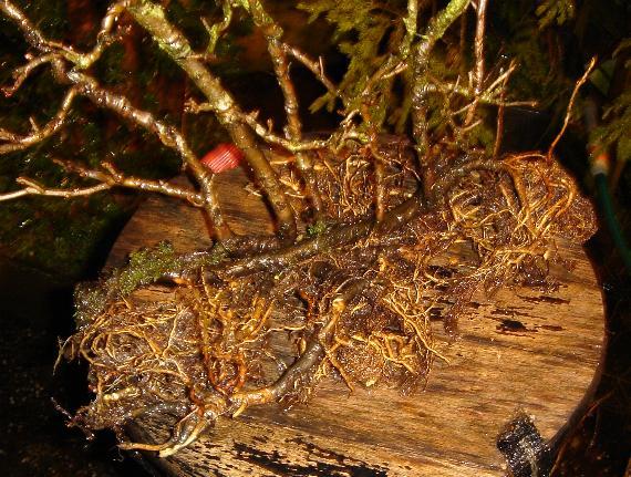 """l'argousier """"hippophae rhamnoides"""" Dsc00111"""