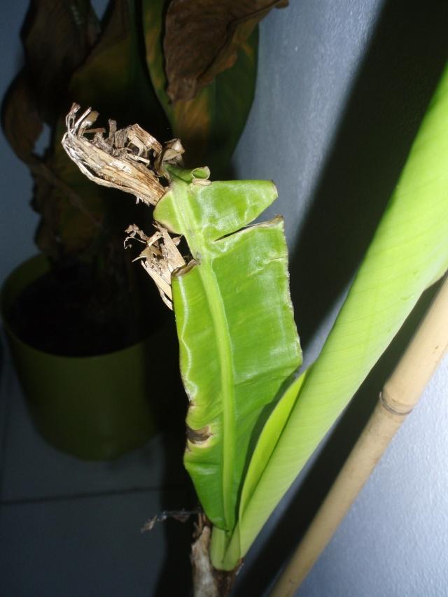 Musa acuminata colla variegata 2010_116