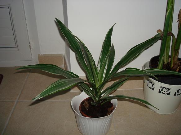 Identification panachée ( Yucca elephantipes 'Jewel' ) 30-09-11