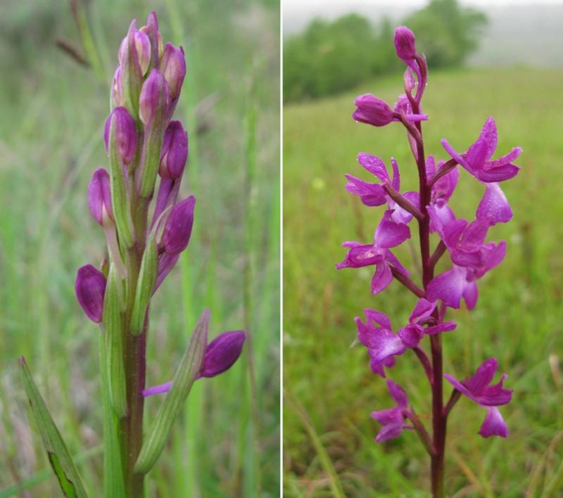 Anacamptis laxiflora ( Orchis à fleurs lâches ) Laxifl10