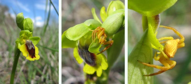 Ophrys lutea ( Ophrys jaune ) Lutea-10