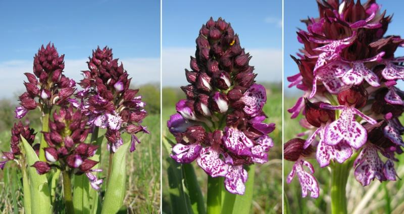 Orchis purpurea ( Orchis pourpre ) O_purp10
