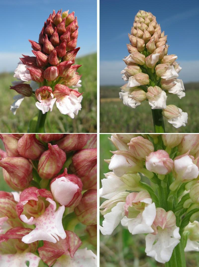 Orchis purpurea ( Orchis pourpre ) O_purp11