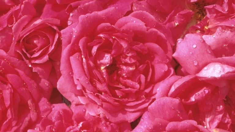 Sella Flower11