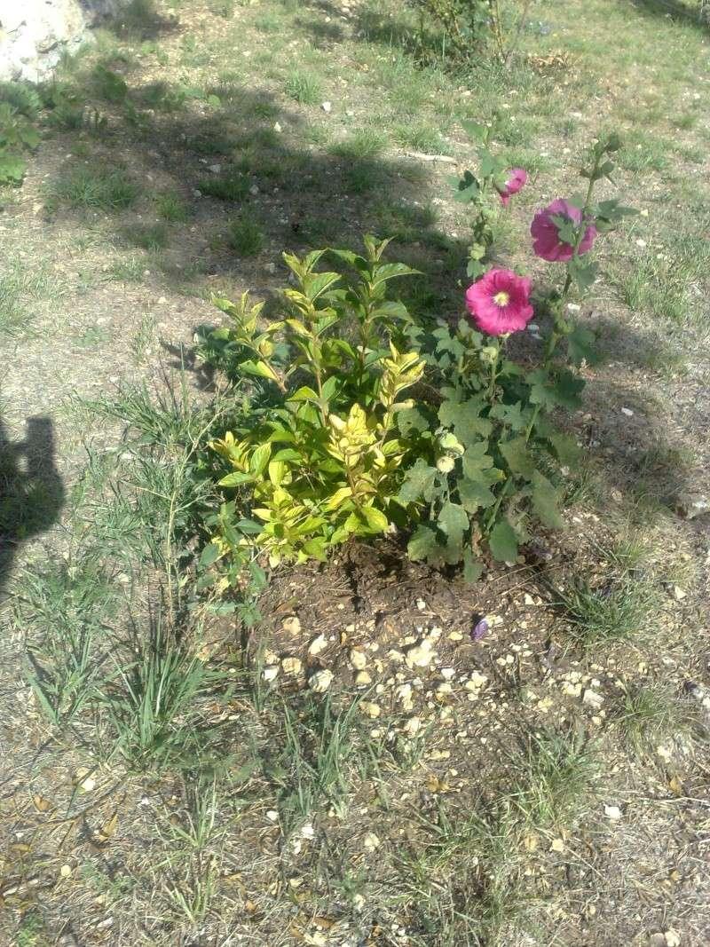 J'avais trouvé son nom puis j'ai oublié snif! Rose trémière ( Alcea rosea ) 24012010