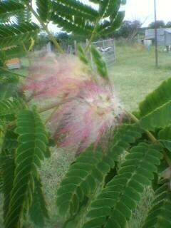 Prom & my tree! Mimosa10