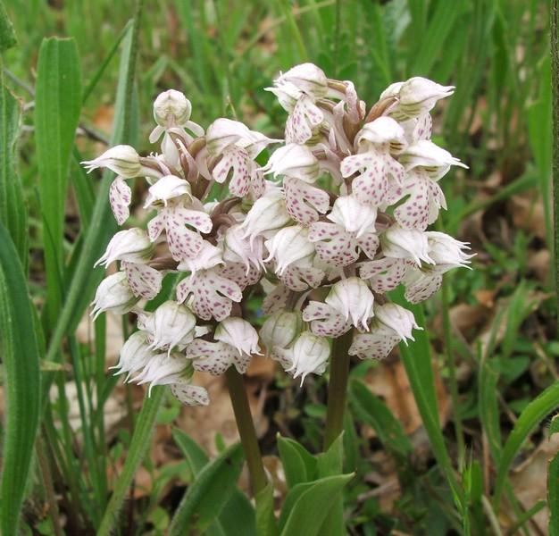 Neotinea lactea ( Orchis couleur de lait ) Inflo_10