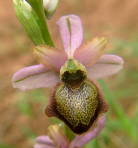 Ophrys aveyronensis ( Ophrys de l'Aveyron ) Macule15