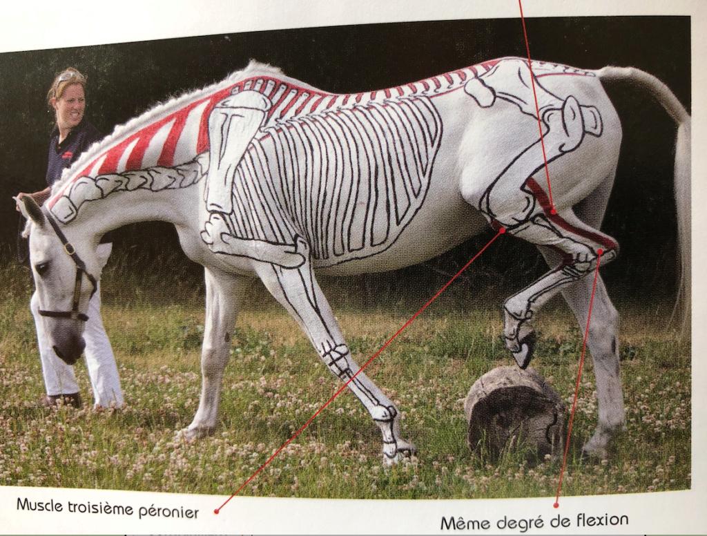 Encolure de cheval Captu311