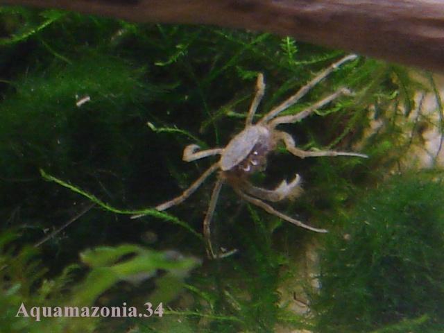 Mes Limnopilos naiyanetri (Crabe araignée) Limnop12