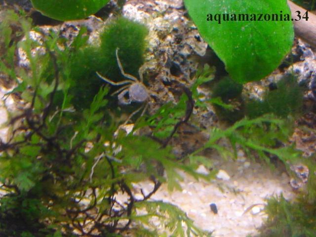 Mes Limnopilos naiyanetri (Crabe araignée) Limnop13