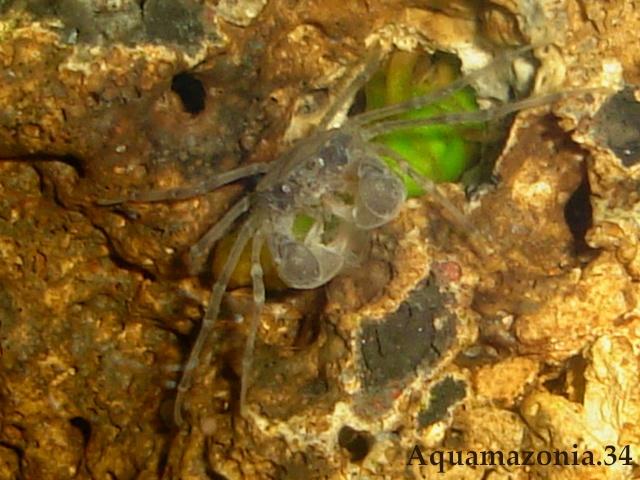 Limnopilos naiyanetri Limnop17