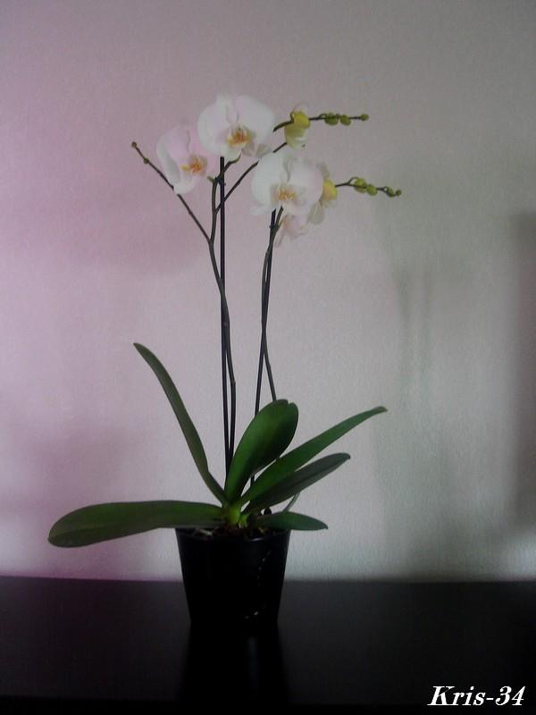 Mon Orchidée Orchid17