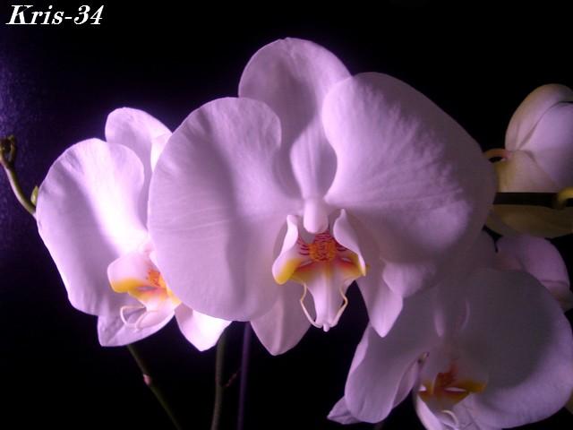 Mon Orchidée Orchid19
