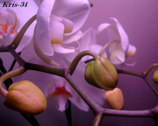 Mon Orchidée Orchid21