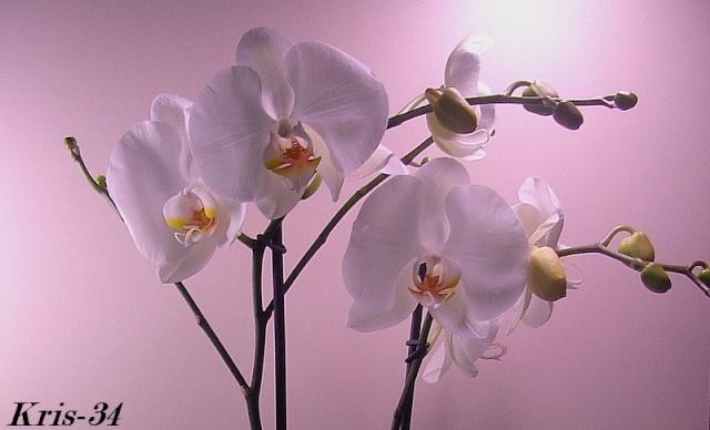Mon Orchidée Orchid22