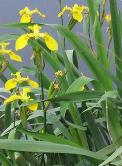 Iris pseudacorus Iris_p10