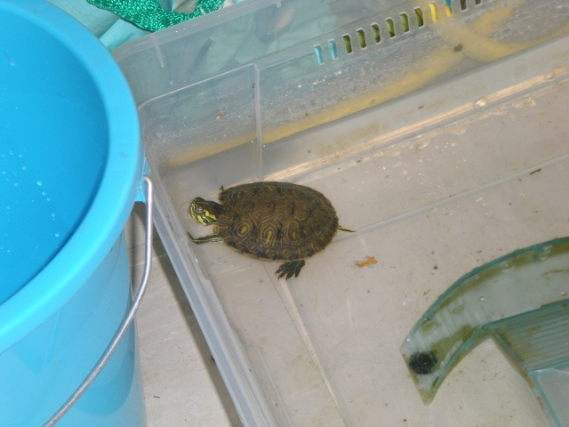 Identification tortue aquatique Appare12