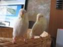 Mon couple de perruches ondulées Per_0010