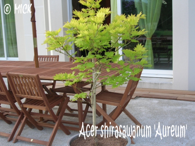 Acer shirasawanum 'Aureum' ( Fiche ) Acer_s10