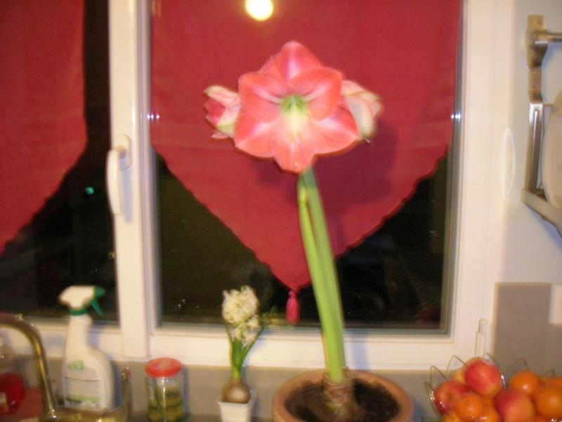 Amaryllis hippeastrum 'minerva' Dscn1315