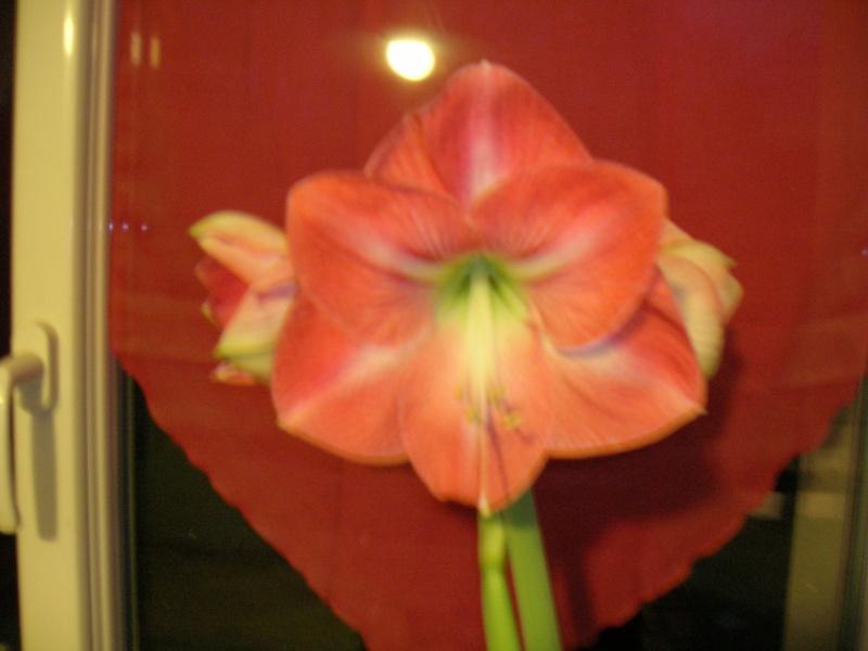 Amaryllis hippeastrum 'minerva' Dscn1316