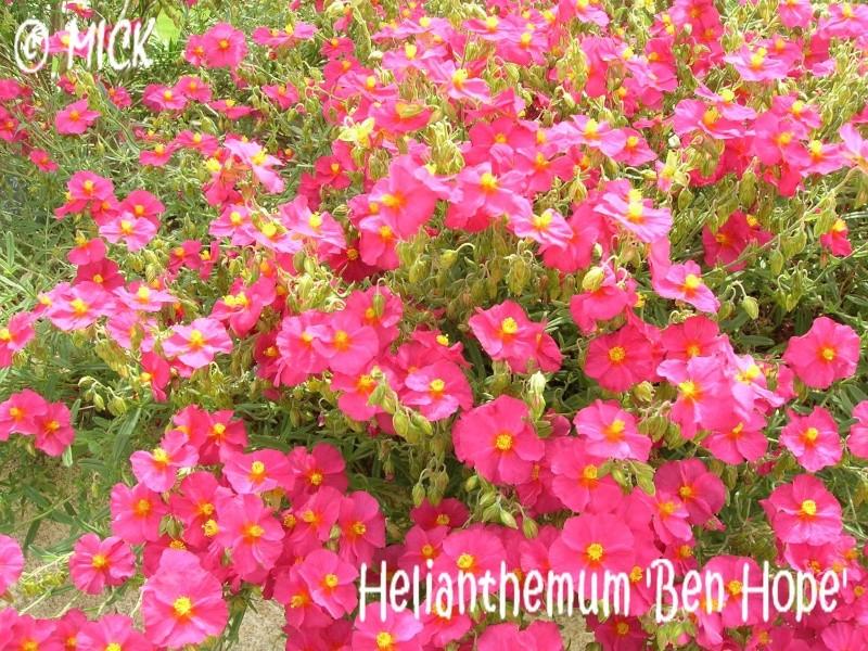 Helianthemum 'Ben Hope' ( Fiche ) Dscn1625