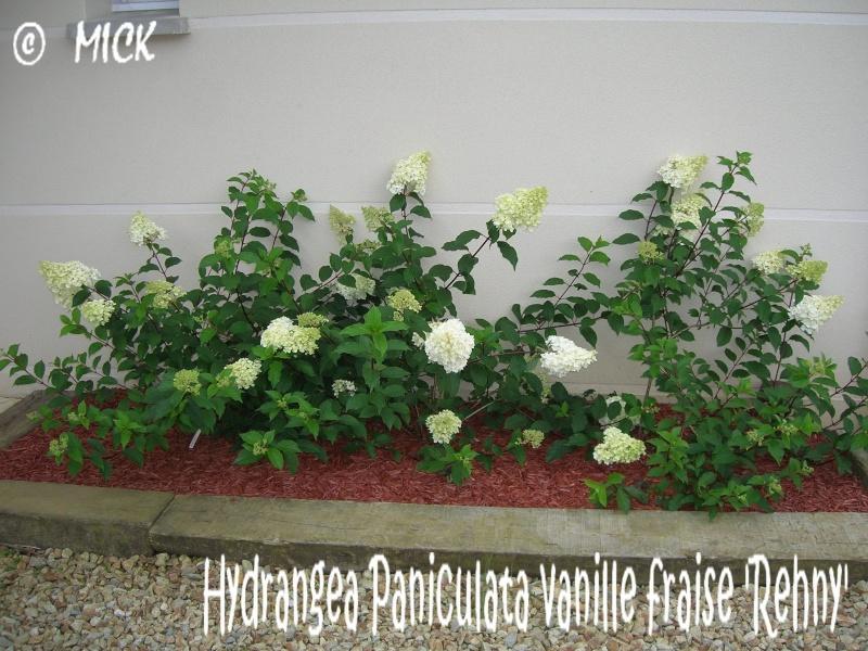 Hydrangea Paniculata vanille fraise 'Rehny' ( Fiche ) Dscn1626