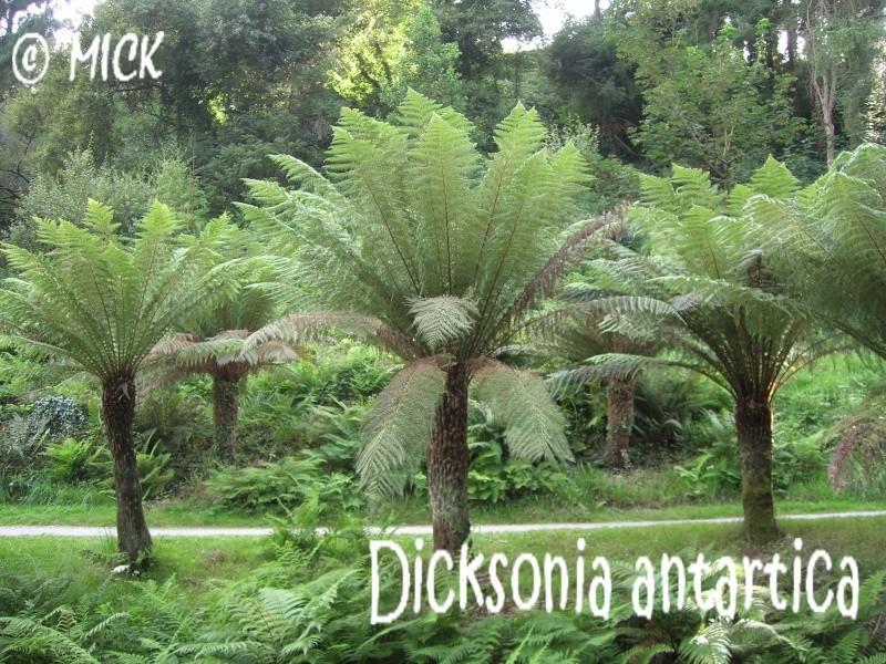 Dicksonia antartica ( Fiche ) Dscn1710
