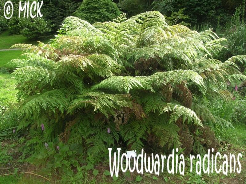 Nouvelle fiche Woodwardia radicans Dscn1713