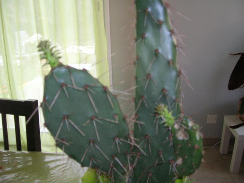 un opuntia en pleine végétation, bizarre !!! Dscn1810