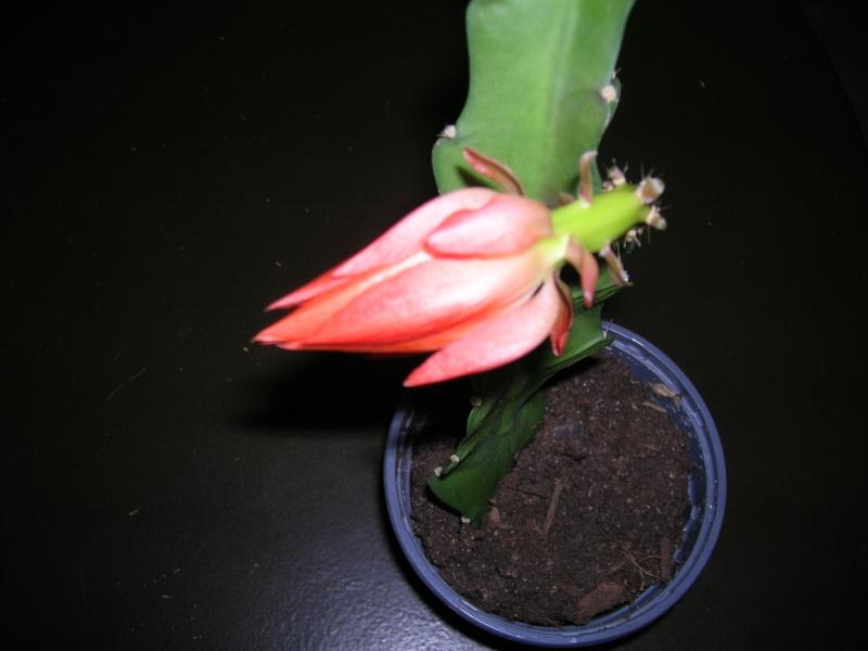 Une fleur qui arrive !!! Dscn1910