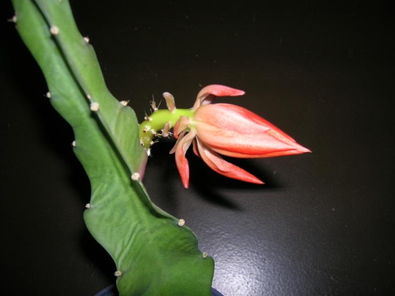 Une fleur qui arrive !!! Dscn1911