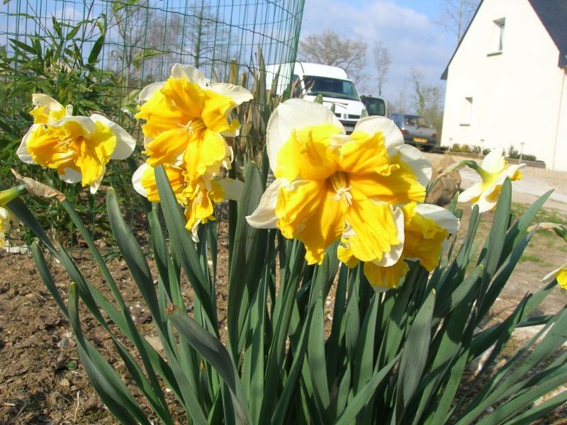 Narcisse orangerie et tulipe varié. Dscn1912